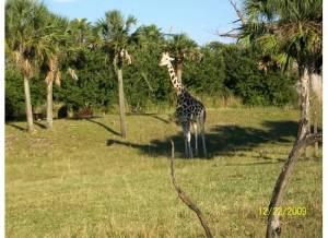 Kilimanjaro Safari Giraffe